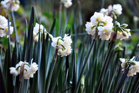 jonquil: Earlicheer Jonquil daffodil flower close-up  Narcissus  is a genus of mainly hardy, mostly spring-flowering, bulbous perennials in the Amaryllis family, subfamily Amaryllidoideae  Various common names including daffodil, narcissus, and jonquil are used to