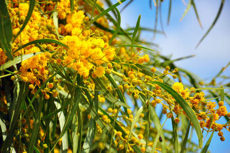 wattle: Close up of the Acacia pycnantha  Golden Wattle , native floral emblem of Australia