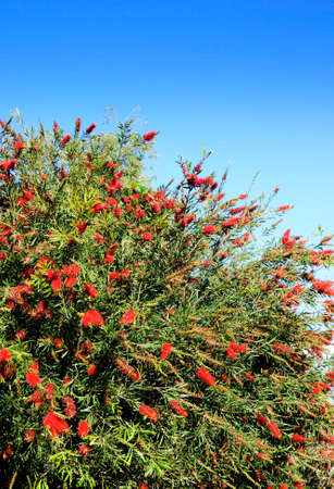 Red Flower of the Australian Bottle Brush Tree (Callistemon spp.) The name derives from the plants flowers, which look like brushes for cleaning bottles. photo