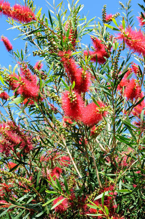 callistemon: Red Flower of the Australian Bottle Brush Tree (Callistemon spp.) The name derives from the plants flowers, which look like brushes for cleaning bottles.