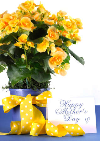 Happy Mothers Day beautiful yellow Begonia potted plant gift with yellow flowers and polka dot gift wrapping ribbon and gift card tag  photo