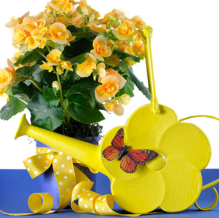 Beautiful yellow Begonia potted plant gift with yellow flowers with Springtime yellow daisy watering can and butterfly photo