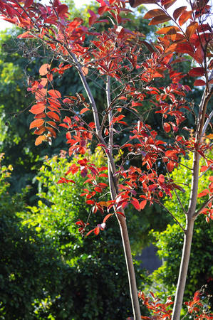 myrtle green: Red autumn fall leaves of a young Crepe Myrtle, Lagerstroemia indica, tree against green shrubs and trees for Arbor Day, greeting gard or wallpaper