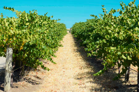 grape vines: Australian wineries rows of grape vines taken on a bright and sunny day.
