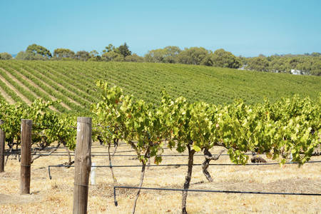 vineyard: Australian wineries rows of grape vines taken on a bright and sunny day.