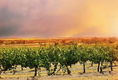 Rows of grapevines, taken at the Barossa Valley, South Australia, with sunset sky.