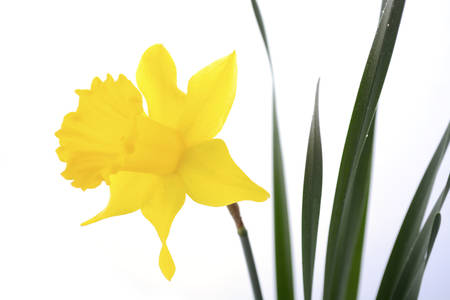 Springtime Yellow Daffodil flowers on white background.