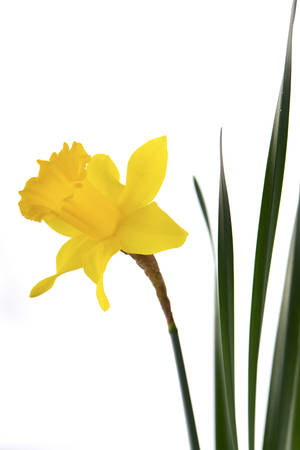 a stem here: Springtime Yellow Daffodil flowers on white background.