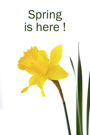 a stem here: Springtime Yellow Daffodil on white background with sample text. Stock Photo