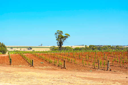 barossa: Rows of very young grapevines on sunny Summers day, taken at the Barossa Valley, South Australia.