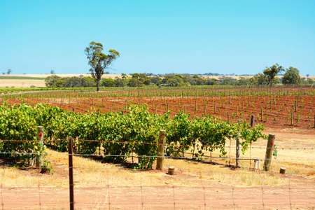 barossa: Rows of grapevines on sunny Summers day, taken at the Barossa Valley, South Australia, showing old and new vines.