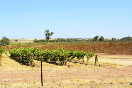 barossa: Rows of grapevines on sunny Summers day, taken at the Barossa Valley, South Australia, extra wide angle with copy space, showing old and new vines.