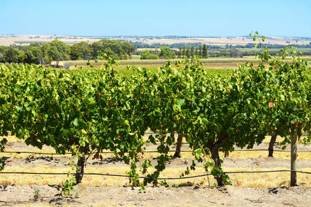 exporter: Rows of grapevines on sunny Summers day, taken at the Barossa Valley, South Australia. Stock Photo