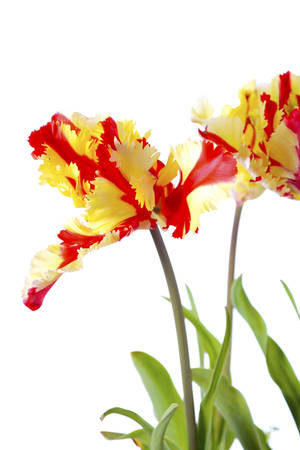 extrovert: Stunning springtime Flaming Parrot Tulip flowers against a white background. Stock Photo