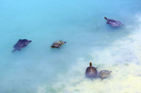 natural habitat: Australian fresh water turtles swimming in natural habitat in the shallows of a large pond.