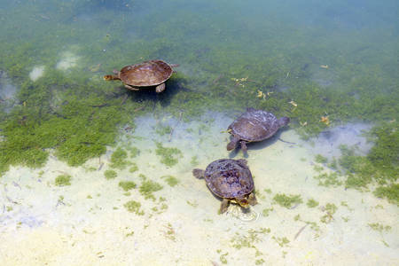 freshwater turtle: Australian fresh water turtles swimming in natural habitat in the shallows of a large pond.