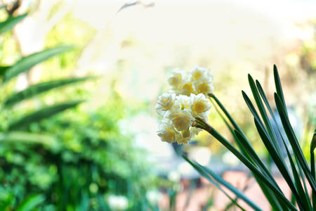 Springtime garden setting with close up of beautiful Erlicheer jonquil daffodils, shallow DOF.
