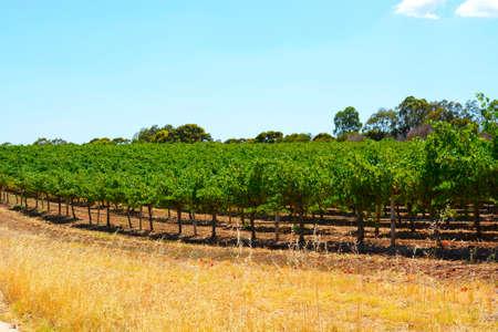 明るく晴れた日に撮影したブドウの行がオーストラリアのワイナリー。