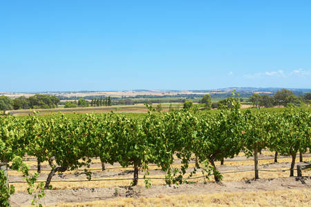 Australian wineries rows of grape vines taken on a bright and sunny day at the Barossa Valley, South Australia. Stock Photo