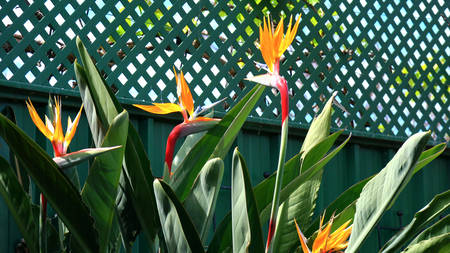 Bird of Paradise flowers, or South African Crane Flower, botanical name Strelitzia reginae, in natural garden setting