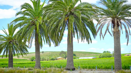 Views of rows of grapevines and surrounding hills through palm trees common to Seppeltfield, Barossa Valley, South Australia.