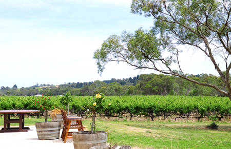 Australian outdoor winery picnic setting with views of rows of grapevines under a large eucalyptus gumtree. Banco de Imagens
