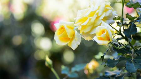Rose garden with bokeh background and copy space.