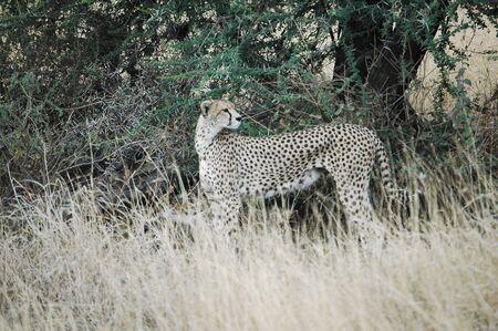 Cheetah in the Serengeti Reklamní fotografie
