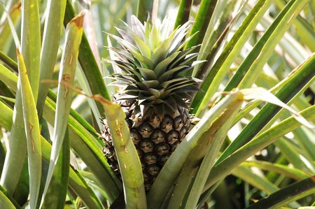 Pineapple growing in Uganda