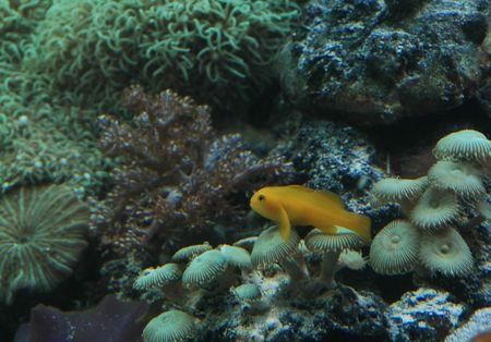 goby: Giallo ghiozzi pesce pagliaccio seduto su di corallo  Archivio Fotografico