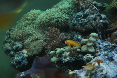 clown fish: Yellow clown goby fish sitting on coral Stock Photo