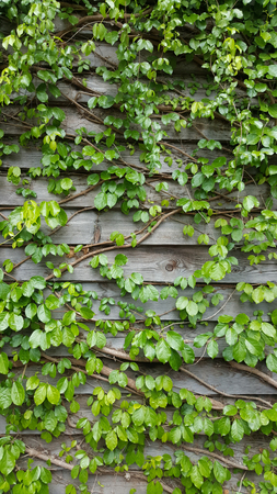 vine plants climbing onto the woonden wall 写真素材