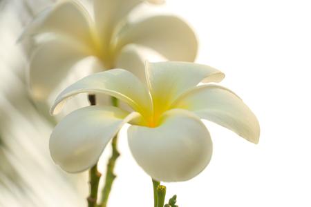 White Plumeria in orange filter Imagens