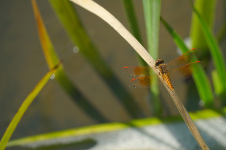 Orange Dragonfly is on the grass leaf 写真素材