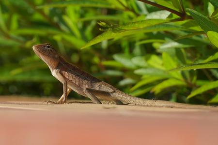 Small Lizard closeup pixture
