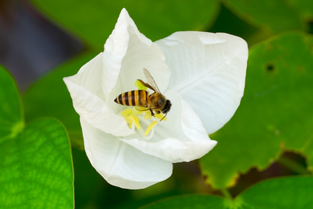 The bee is on the white flower.