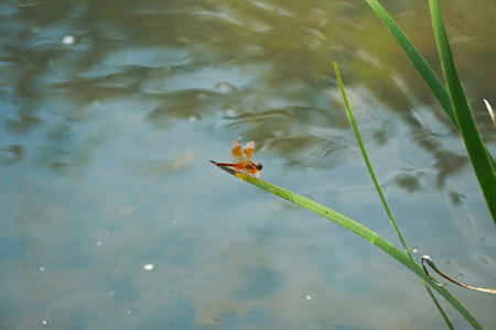 Orange Dragonfly is on the grass leaf that grow in the stream. 写真素材