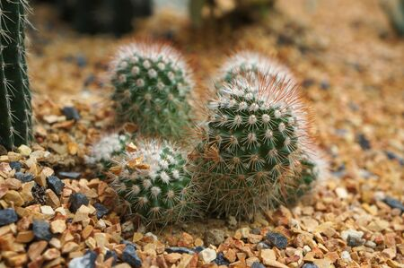 Multiple heads cactus with brown thorn Imagens - 128890783