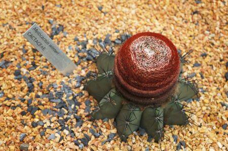 The Cactus closeup, Melocactus winteri, CACTACEAE. Imagens - 128890790
