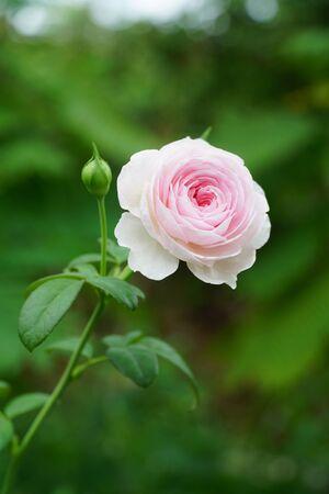 Pink roses bloom Imagens
