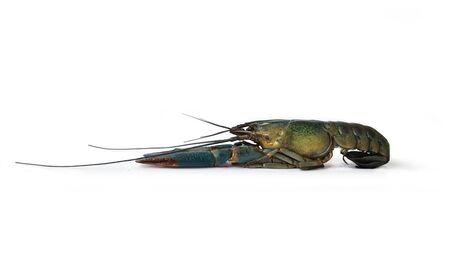 Craw or crayfish on white background.
