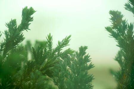 Pine shoots against the morning light and the romance mist.