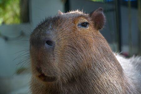 Potrait of Capybara, an African mammal