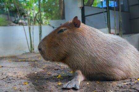 Capybara, an African mammal