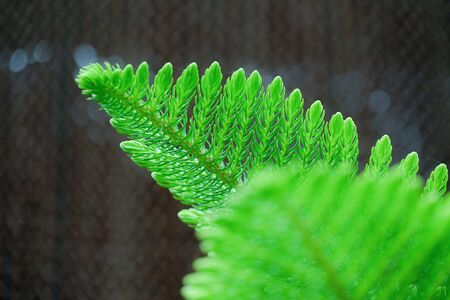 Conifer leaf contrast to the background