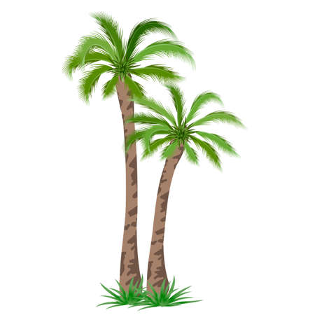 Tropical palm tree isolated on white background. Vector illustration