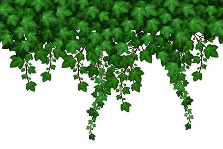 Ivy foliage pattern on white background. Green ivy leaves and hanging branches, natural plant wall. Vector illustration