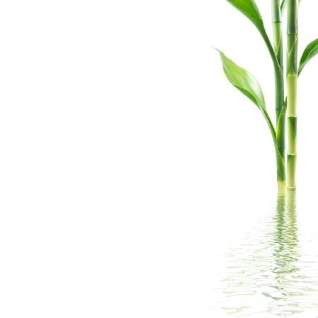 bamb�: Bamb� con la reflexi�n del agua en el fondo blanco Foto de archivo