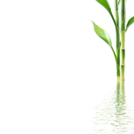Bamboo with water reflection on white background photo