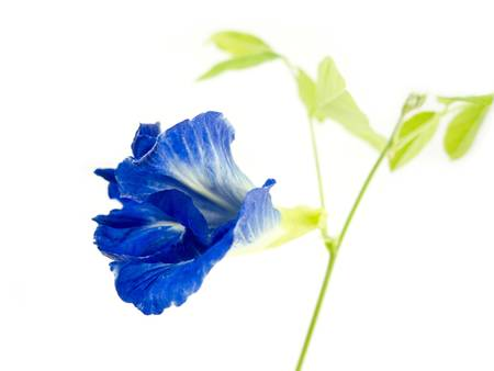 Blue butterfly pea flower on white background photo